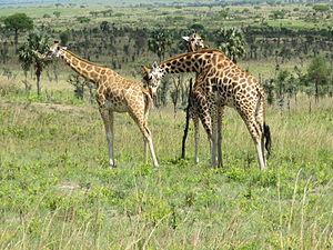 Rothschild's giraffe - Rothschild's giraffes at Murchison Falls National Park in Uganda