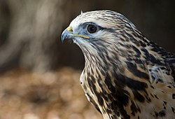Rough-legged-hawk-6.jpg