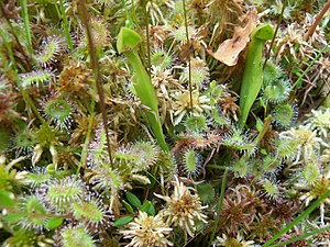 Pinhook Bog - Image: Round leaved Sundews and baby Purple Pitcher Plants