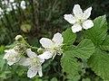 Rubus caesius a1 (4).jpg