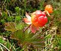 Rubus chamaemorus (multe).JPG