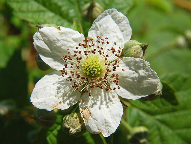 a white flower with five rounded petals, dark brown stamens, and a yellowish centre is shown against a darker green background of leaves