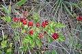 Rubus parvifolius fruit.jpg