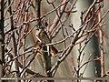 Rufous-backed Redstart (Phoenicurus erythronotus) (28147226672).jpg