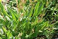 Rumex acetosa05072006 feuilles.JPG