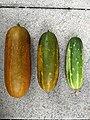 Russische Gurke in 3 Reifheitsgraden.jpg