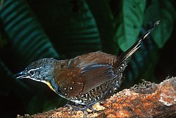 Rusty Belted Tapaculo.jpg