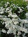 Süß duftende weiße Blüten.JPG
