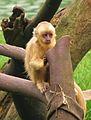 S. flavius SP Zoo 4.jpg