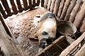 SB044 Pig farming Cuba 3.JPG