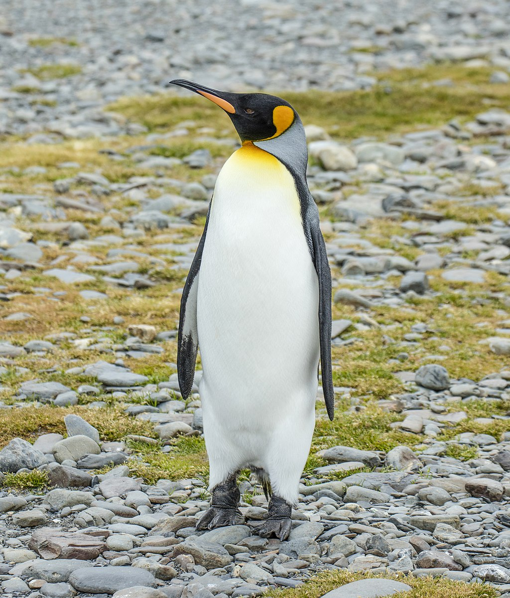SGI-2016-South Georgia (Fortuna Bay)–King penguin (Aptenodytes patagonicus) 04