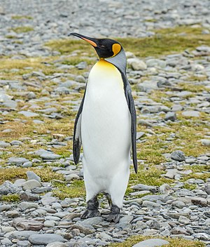 King penguin - King penguin Fortuna Bay, South Georgia