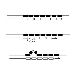 Microsatellite - DNA strand slippage during replication of an STR locus. Boxes symbolize repetitive DNA units. Arrows indicate the direction in which a new DNA strand (white boxes) is being replicated from the template strand (black boxes). Three situations during DNA replication are depicted. (a) Replication of the STR locus has proceeded without a mutation. (b) Replication of the STR locus has led to a gain of one unit owing to a loop in the new strand; the aberrant loop is stabilized by flanking units complementary to the opposite strand. (c) Replication of the STR locus has led to a loss of one unit owing to a loop in the template strand. (Forster et al. 2015)
