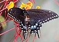SWALLOWTAIL, BLACK (Papillio polyxenes) (7-12-11) fem, 78 circulo montana, patagonia lake ranch estates, scc, az (2) (9420703899).jpg
