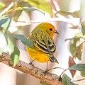 Saffron Finch -72 100- (37340765950).jpg