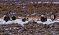 Sage Grouse at lek - Colorado - clipped.jpg