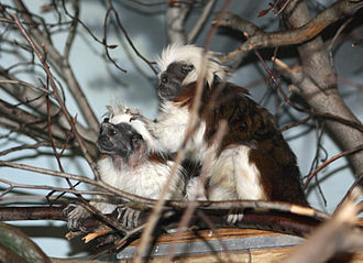 Cotton-top tamarin - A male grooming a female as part of the species' cooperative ritual