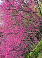 Sakura 櫻 - panoramio.jpg