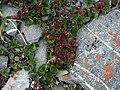 Salix rotundifolia-MW0158297-live.jpg