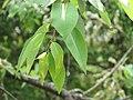 Salix tetrasperma - Indian Willow at Bavali (2).jpg