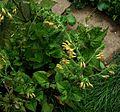 Salvia Amber - Flickr - peganum (2).jpg