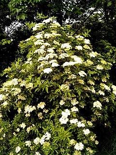 Herbatika-lekovito bilje  - Page 2 240px-Sambucus_nigra-Busch