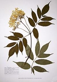 Sambucus nigra ssp. canadensis BW-1988-0720-0005.jpg