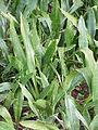 Sanseveria hyacinthoides0.jpg