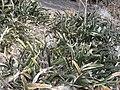 Sansevieria scimitariformis - Panda (4525012485).jpg