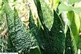 Sansevieria trifasciata 11zz.jpg