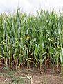 Santander - corn.jpg