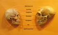 Sapiens neanderthal comparison-af.png
