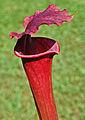 Sarracenia 'Red Sumatra' (7532336744).jpg