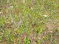 Sarracenia purpurea (5086958640).jpg