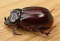 Scarabaeidae2.jpg