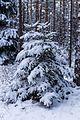 Schneebedeckte Tanne, Naturschutzgebiet Assberg-Hasenleite, Thüringen, 160116, ako.jpg