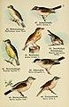 Schreibers kleiner Atlas der einheimischen Vögel (Pl. 7) (6076858720).jpg