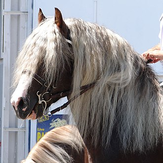 Mane (horse) - Horse with long mane. The mane runs from the poll to the withers.