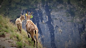 Scientific monitoring of ibex in Vanoise National Park, France (1).jpg