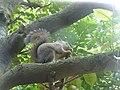 Sciurus lis on a branch 20160710.jpg