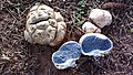 Scleroderma citrinum Pers 863556.jpg