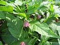 Scopolia japonica-03.jpg