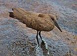 Scopus umbretta -Kruger National Park, South Africa-8a.jpg