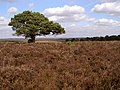 Scots pine on Hincheslea Moor, New Forest - geograph.org.uk - 146146.jpg
