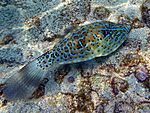 Scribbled filefish2.jpg