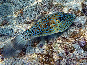 Scribbled filefish2.jpg