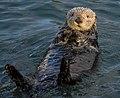 Sea Otter (Enhydra lutris) (25169790524).jpg