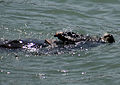 Sea Otteruses a rock to break a shell open 2.jpg