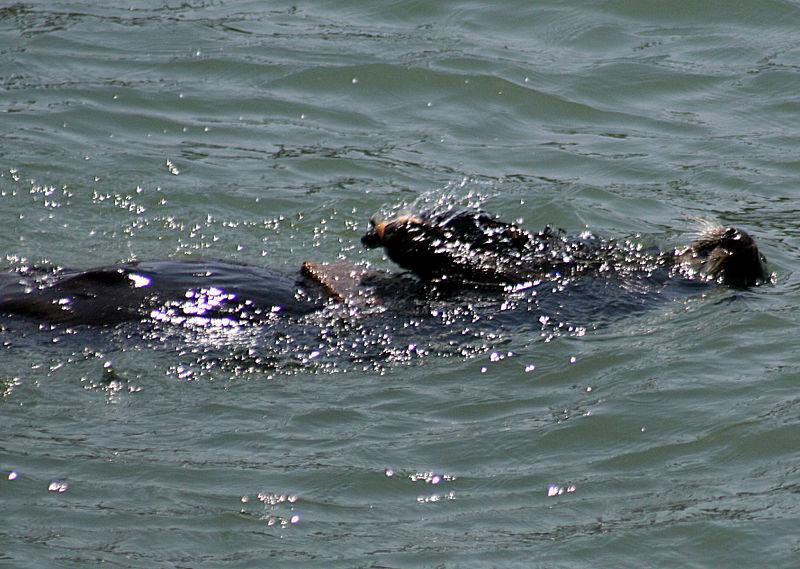 Sea Otteruses a rock to break a shell open 2.jpg