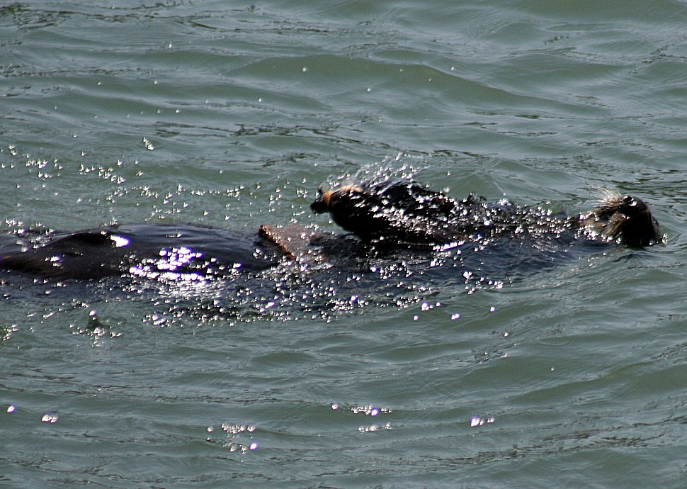 Sea Otteruses a rock to break a shell open 2